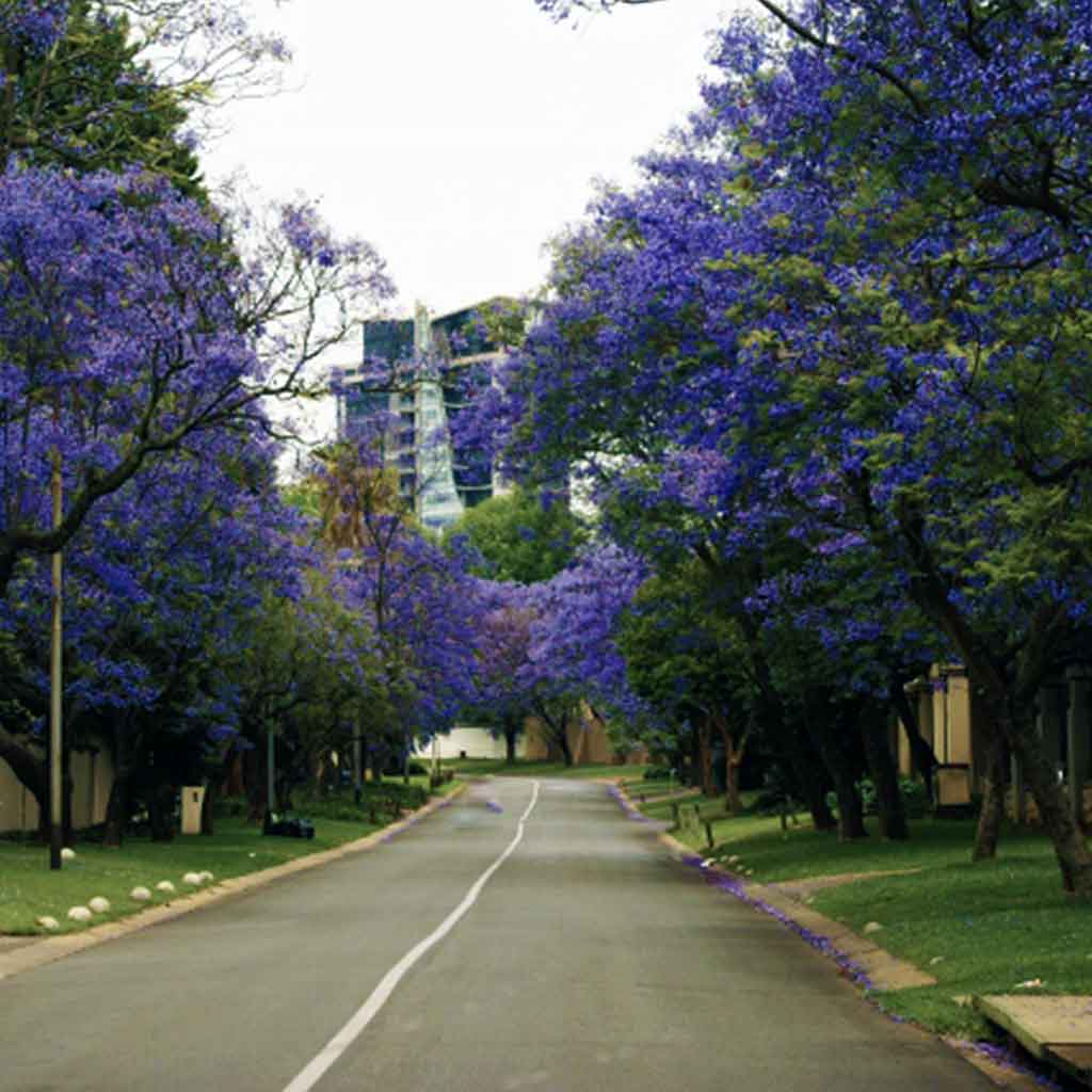 jacarandas-around-tladi-lodge-in-sandton