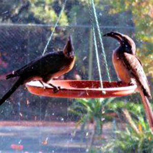 two-african-grey-hornbill-in-the-birdfeeder-at-tladi-lodge