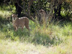 De-Wildt-Cheetah-Farm,-Hartbeespoort,-North-West-Province-_-by-South-African-Tourism